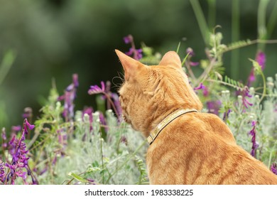Ginger cat looking at flowers in spring time.