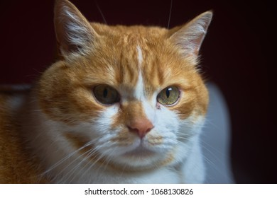 Ginger cat looking into the camera