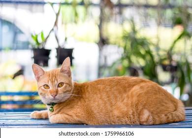 Ginger cat lying on blue