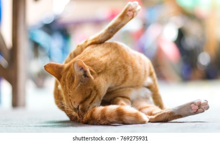 Ginger cat lying outdoor and cleaning it's tail, holding back leg in the air, soft focus.