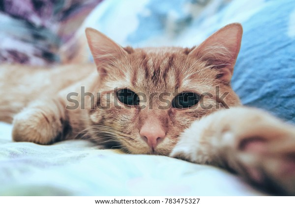 Ginger Cat on the Bed