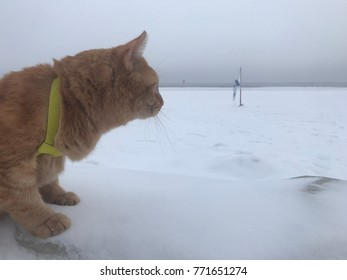 Ginger cat on the snow
