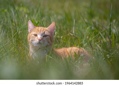 Ginger cat or orange domestic cats are very popular felines, Portrait of a pussycat sitting and laying on the green grass meadow in spring, A young lovely tabby cat walking outdoor.