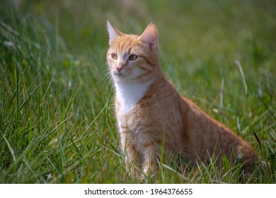 Ginger cat or orange domestic cats are very popular felines, Portrait of a pussycat sitting on the green grass meadow in spring, A young lovely tabby cat walking outdoor.