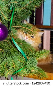 Ginger cat peeking out from behind branches of the decorated Christmas tree at selective focus