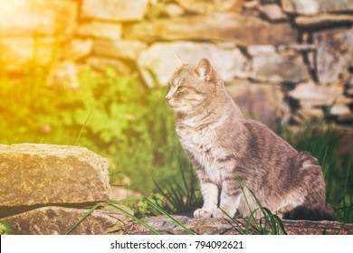 Ginger cat perched sitting on a garden stone looking intently back over its shoulder as it watches something, profile view with golden glow from the sun.