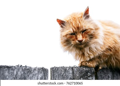 Ginger cat. Red cat on the fence. isolated on white. dirty longhair cat