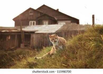 ginger cat in the rural landscape