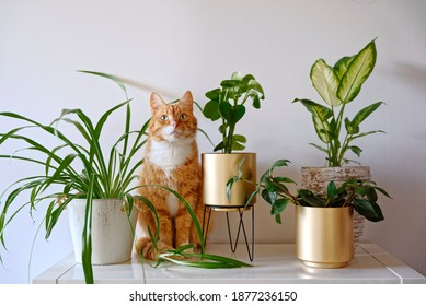 Ginger cat sitting near a set of green potted houseplants (peperomia, spider plant, dieffenbachia) on white wall background at home. Growing indoor plants, urban jungle - Shutterstock ID 1877236150