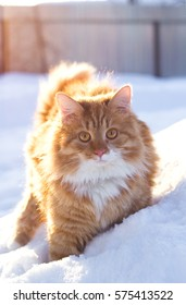 Ginger cat in the snow