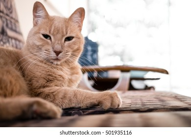 Ginger Cat staring at the camera