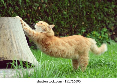 Ginger cat is stretching