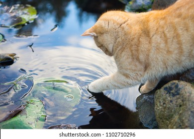 Ginger cat touching water with its paw