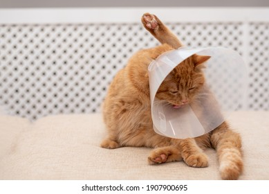 Ginger cat with Vet Elizabethan collar trying to licking his paw. Close-up of striped, cat lying on sofa in the room, washing, licking itself.