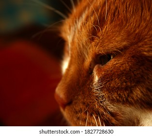 Ginger cat's sideways face with a half-closed eyes. White whiskers. Close up. Red nose. Felis catus. Felidae family. Bright colorful background.