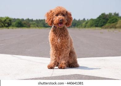 Ginger Cockapoo Dog