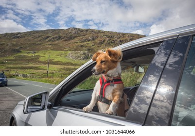 Ginger collie type small dog looking out of a car window in Snowdonia national park