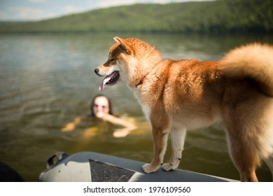 A ginger dog Shiba Inu rides a boat along the river with the owner. The owner found himself in the water, the dog looks into the water. The dog and the owner rest together in the summer, they spend