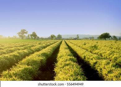 Ginger Farm