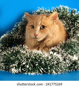 Ginger fluffy cat sitting with Christmas tinsel on blue background