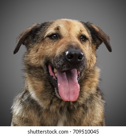 ginger funny dog - symbol of 2018, stuck out his tongue and smiles, posing on grey background