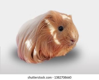 Ginger furry guinea pig pets