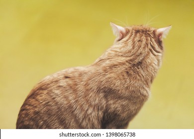 Ginger Hair Cat from the back