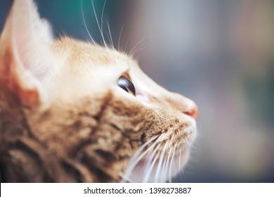Ginger Hair Cat Profile. Macro Close Up