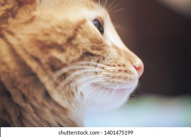 Ginger Hair Cat Profile. Macro Close Up Background