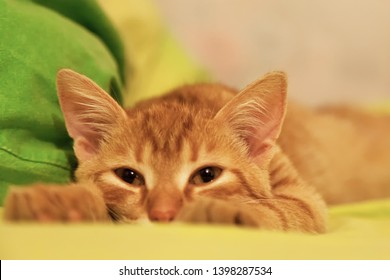 Ginger Hair Cat is Sleeping on the Bed at Home