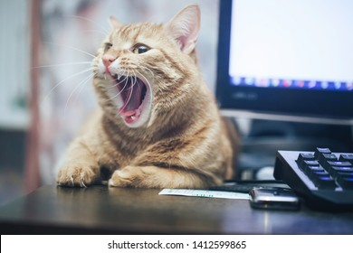 Ginger Hair Cat is Yawning