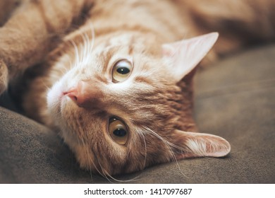 Ginger Hair Red Cat on Leather Background
