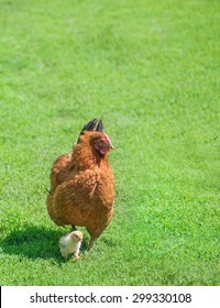 Ginger hen walks with young chickens on green grass outdoors