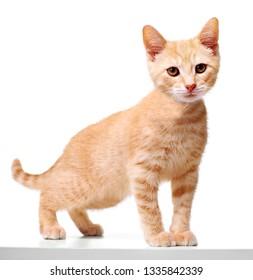 ginger kitten cat