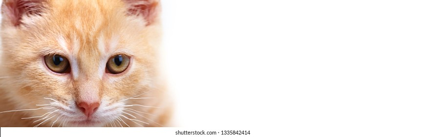 ginger kitten cat