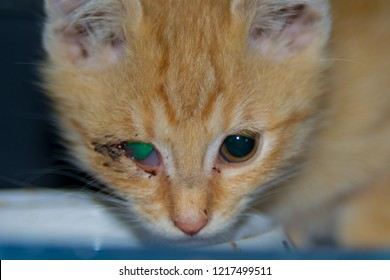 Ginger Kitten With Conjunctivitis Eye Infection In Cats Feline Respiratory Disease Complex
