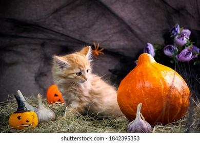 Ginger kitten and halloween pumpkin