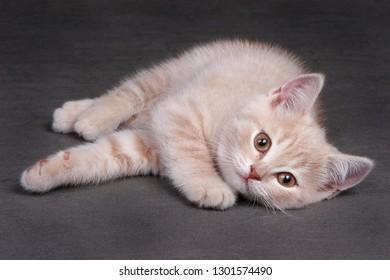 Ginger kitten lies on a gray background