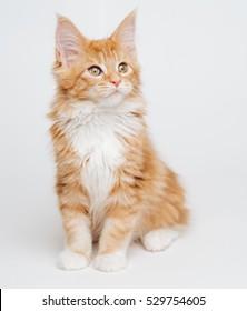 ginger kitten Maine Coon.