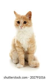 Ginger kitten posing on a white background.