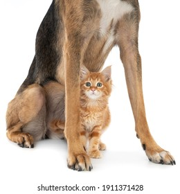 Ginger kitten sitting between the legs of a dog. On white.