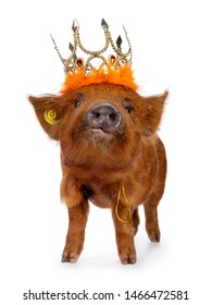 Ginger Kunekune piglet standing facing front, wearing orange crown. Looking at camera with naughty eyes. Isolated on white background. Nose up.