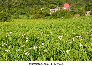 Ginger lily farm, photo shot at Manzhou Township, Pingtung County.