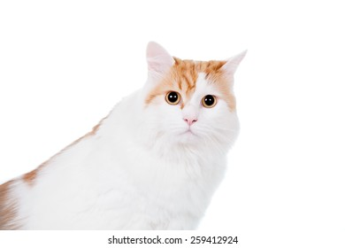 Ginger mixed breed cat isolated on white background