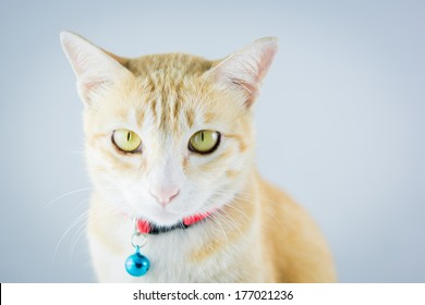 Ginger orange cat have collar and bell portrait studio on white background