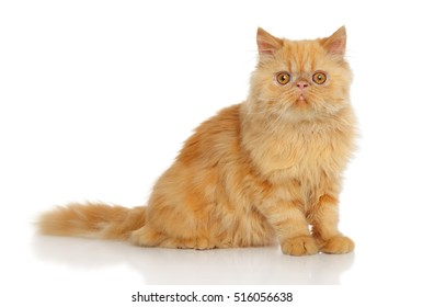Ginger Persian cat in front of white background