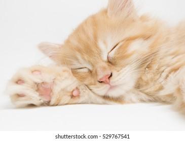 Ginger Persian Kitten