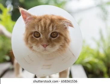 Ginger Persian Kitten Wearing Elizabethan Collar