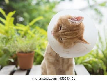 Ginger Persian Kitten Wearing Elizabethan Collar Sticking His Tongue Out