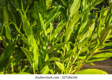 Ginger Plant (Zingiberaceae)